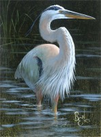 Bird Study - Great Blue Heron