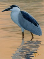 Color Study - Black Crowned Night Heron